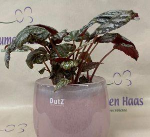 NR.20 Begonia 10,50€
