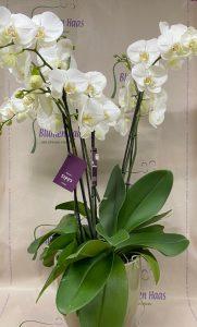 NR.31 Phalenopsis + Topf 148,50€