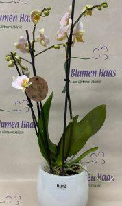 NR.37 Phalenopsis 22,50€