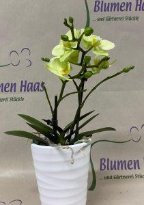 NR.41 Phalenopsis 19,50€