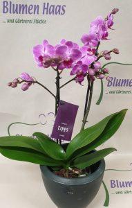 Nr.16 Phalaenopsis 23,50€