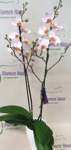 Nr.12 Phalaenopsis Chengdu 29,90€