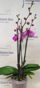 Nr.11 Phalaenopsis Lila 47,50€