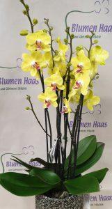Nr.15 Phalaenopsis Malibu Sunrise 44,70€