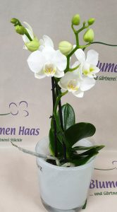 Nr.14 Phalaenopsis Niagara 23,50€