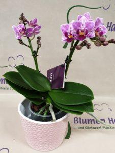 Nr.13 Phalaenopsis Rosie 23,50€