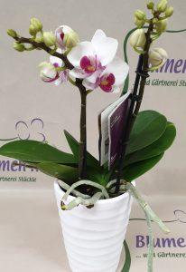 Nr.10 Phalaenopsis Topolino 23,50€