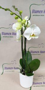 Nr.21 Phalaenopsis Weiß 26,70€