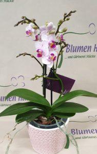 Nr.8 Phalaenopsis Zoe 23,50€