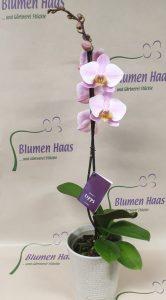 Nr. 15 Phalenopsis 17,90€