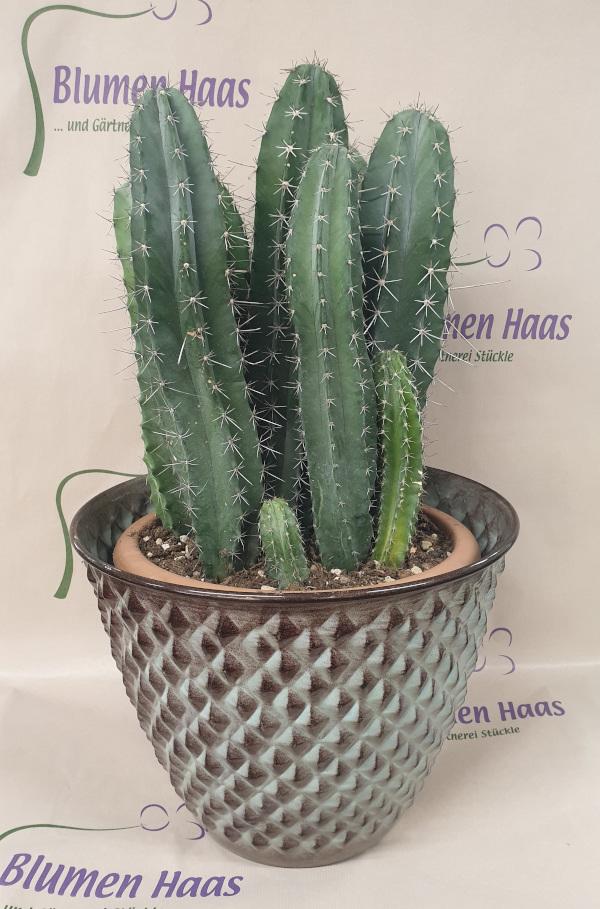 Nr.3 Kaktus 122,50€
