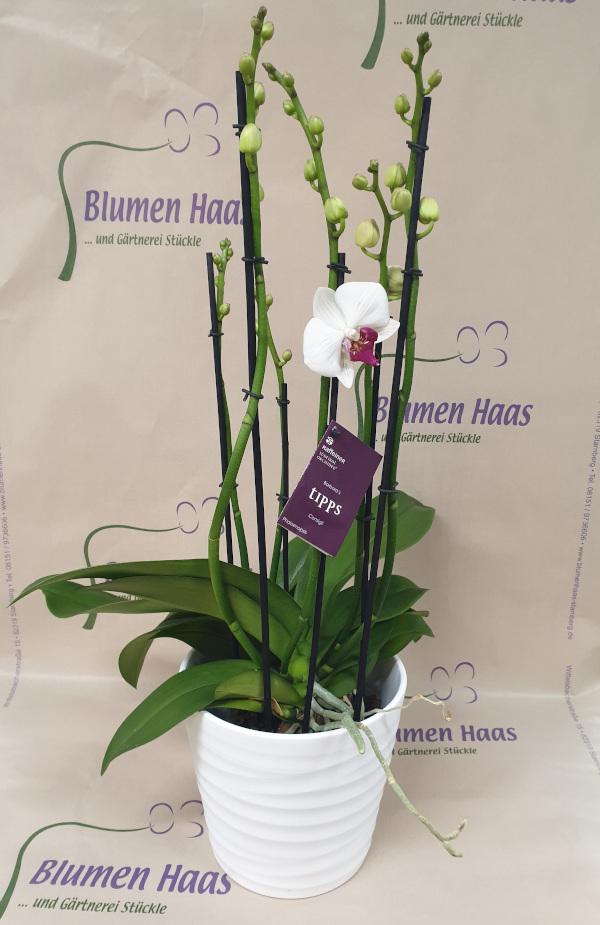 Nr.18 Phalaenopsis My Way 55,90€
