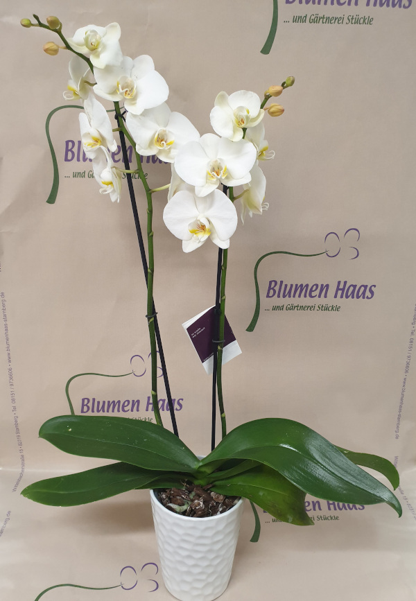 Nr.32 Phalenopsis Cambridge 29,90€
