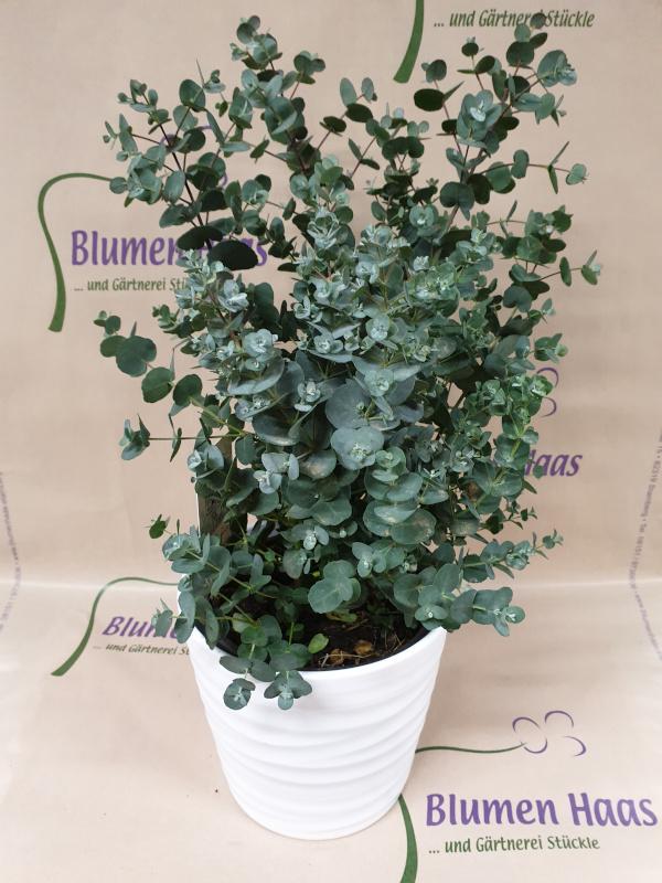 Nr.49 Eukalyptus 32,50€ Topf 10,50€