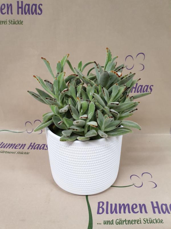 Nr.56 Pflanze 14,80€ Topf 6,90€