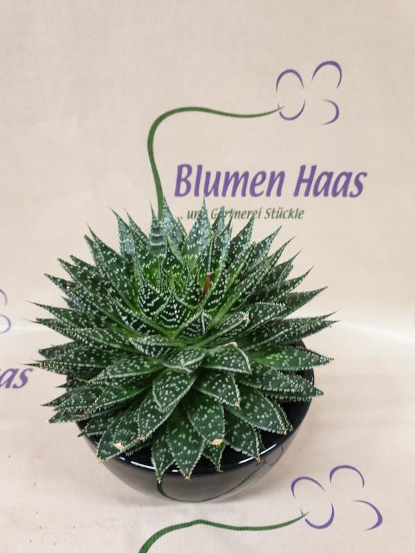 Nr.42 Pflanze 8,90€ Topf 12,90€