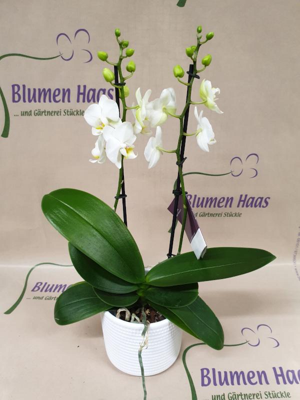 Nr.51 Phalaenopsis 29,90€ Topf 4,90€