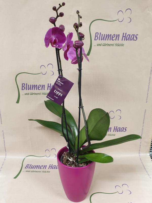 Nr.26 Phalaenopsis 29,90€ Topf 4,50€