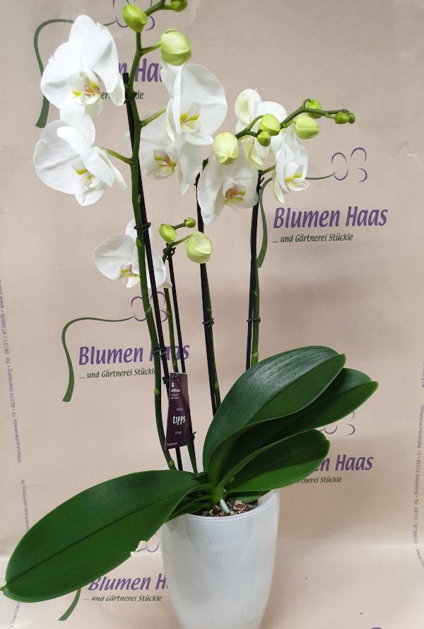 Nr.59 Phalaenopsis 39,90€ Topf 69,90€