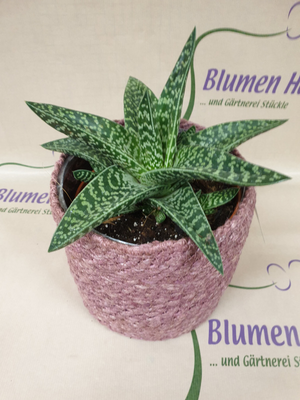 Nr.31 Zier Aloe 12,50€ Korb 13,50€